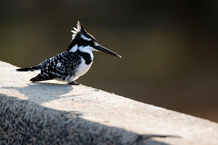 A pied kingfisher sits on a bridge by the water in Kruger National Park on July 7, 2013, in Lower Sabie, South Africa.