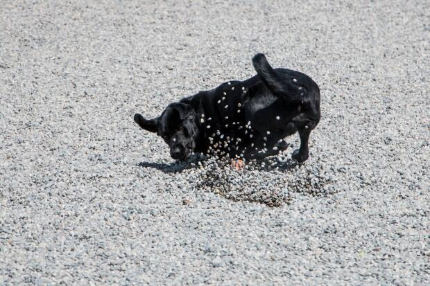 Eric Code's dog Finn playing fetch in pea gravel at Greenwood Park's off-leash area. The city also plans to use pea gravel at St. Andrew's Playground.  (Eric Code/Supplied - image credit)