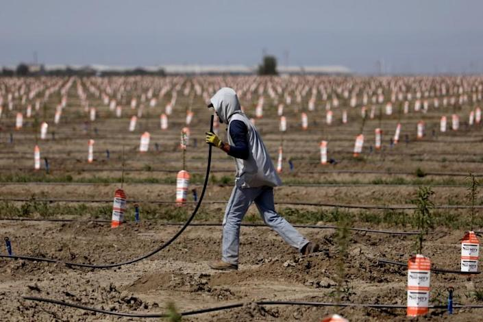 TULARE, CA - APRIL 21: A worker sets up irrigation lines to water almond tree rootstocks along Road 36 on Wednesday, April 21, 2021 in Tulare, CA. A deepening drought and new regulations are causing some California growers to consider an end to farming. (Gary Coronado / Los Angeles Times)