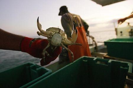 Crabber holds a stone crab north of Marathon in the Florida Keys