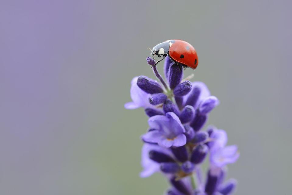"""<p><strong>Ladybug <br><br></strong>Not only adorable, but according to National Geographic, <a href=""""https://www.nationalgeographic.com/animals/invertebrates/group/ladybugs/"""" rel=""""nofollow noopener"""" target=""""_blank"""" data-ylk=""""slk:ladybugs happily eat insects"""" class=""""link rapid-noclick-resp"""">ladybugs happily eat insects</a> (like aphids) that kill plants. Cute <em>and</em> super helpful. </p>"""