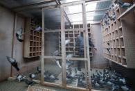 Pigeons are seen at Belgian auction house for racing pigeons Pipa in Knesselare