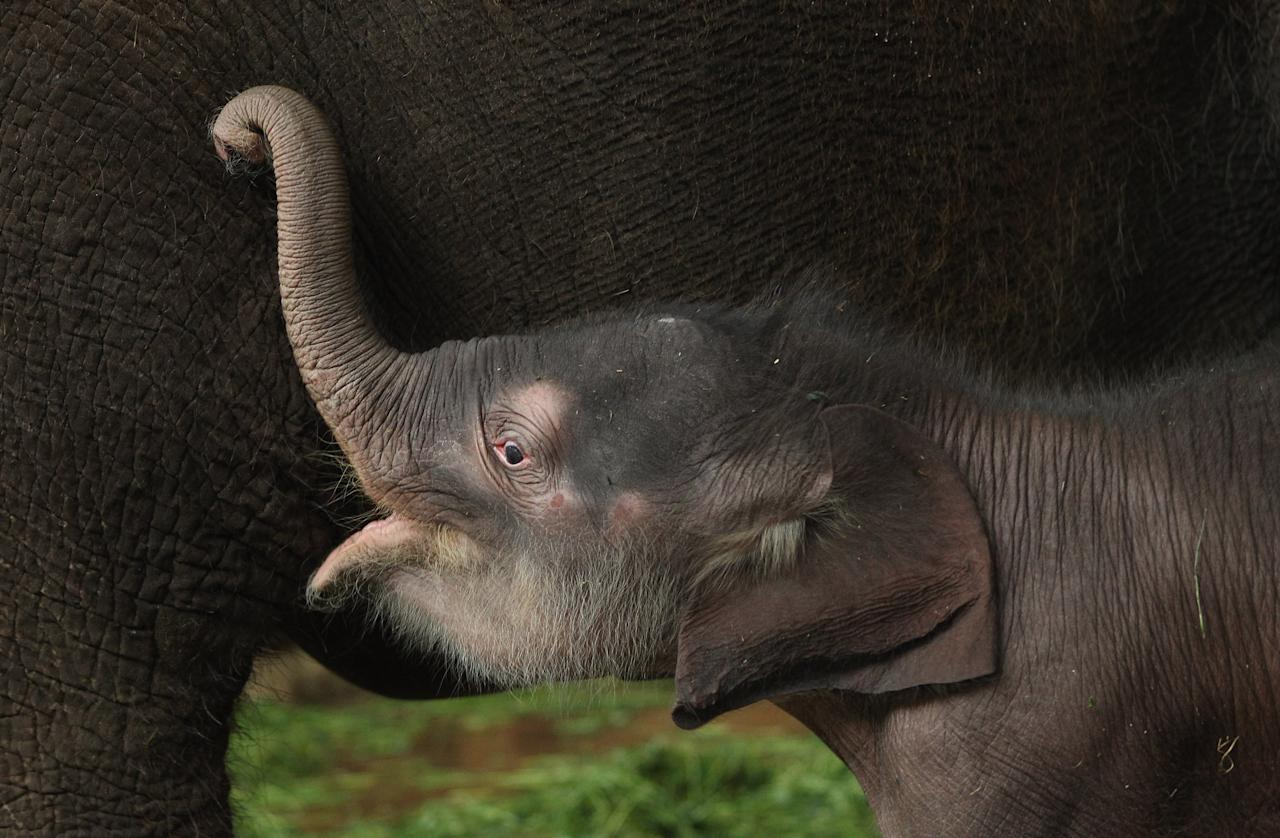 A baby Asian elephant, born only two days before, seeks its mother's breast in its enclosure at Tierpark Berlin zoo on May 10, 2012 in Berlin, Germany. The male elephant calf, who does not have a name yet, weighs 102kg and is 91cm tall.  (Photo by Sean Gallup/Getty Images)