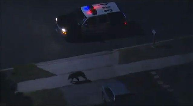 A two-year-old bear sent police on a chase through suburban LA. Source: YouTube