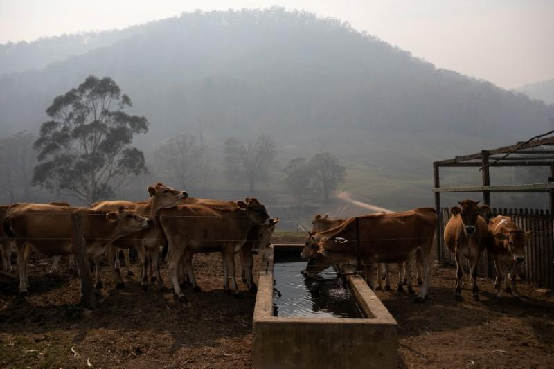 The remaining calves of dairy farmer Salway drink water at his farm in Wandella