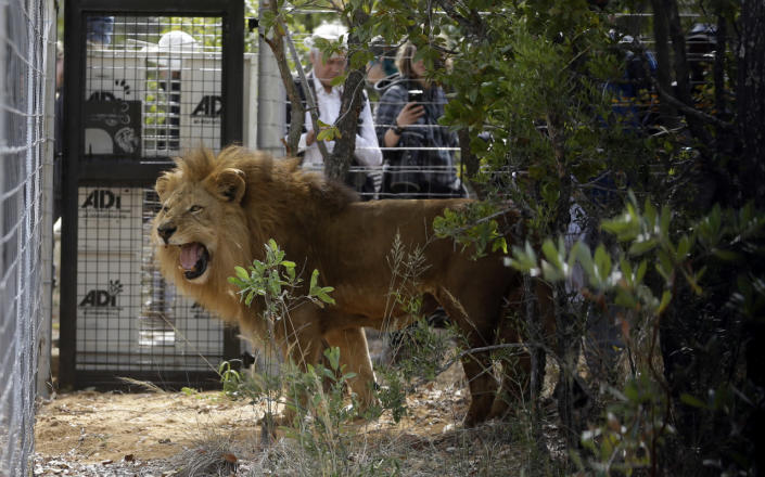 <p>A former circus lion is released into an enclosure at Emoya Big Cat Sanctuary in Vaalwater, South Africa, May 1, 2016. <i>(Themba Hadebe/AP)</i></p>