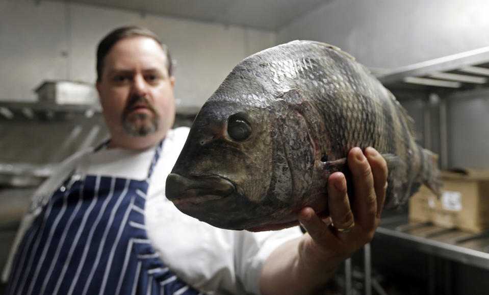 """<p> In this photo taken Thursday, June 13, 2013, James Clark, Executive Chef at Carolina Crossroads Restaurant holds a fresh sheepshead fish ready for preparation in his kitchen in Chapel Hill, N.C. Chefs such as Clark go beyond the usual recommendation to eat small, lower-food-chain fish like sardines, and instead delve full force into little-known local catches that many anglers regard as nuisance or """"trash"""" fish. (AP Photo/Gerry Broome)</p>"""