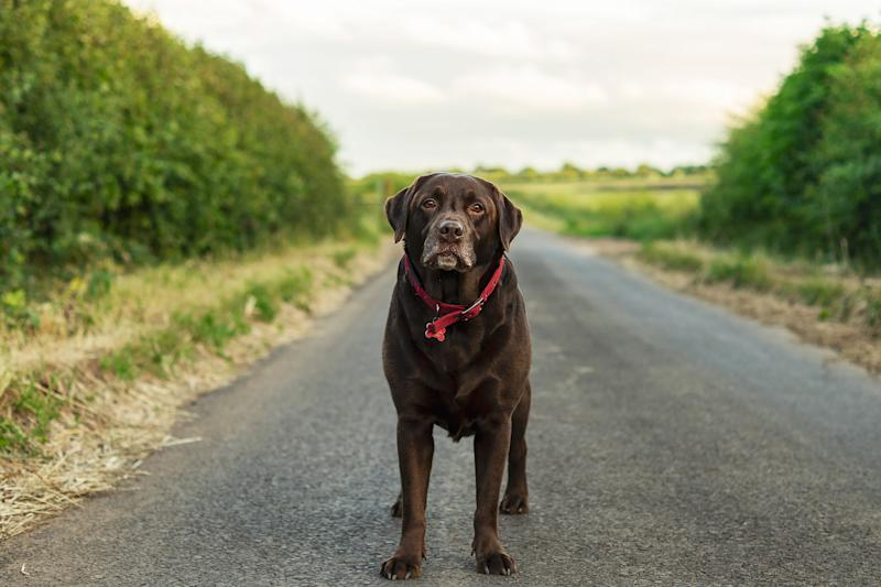 New Study Reveals Chocolate Labs Have Shorter Lifespan Than Their Yellow and Black Counterparts