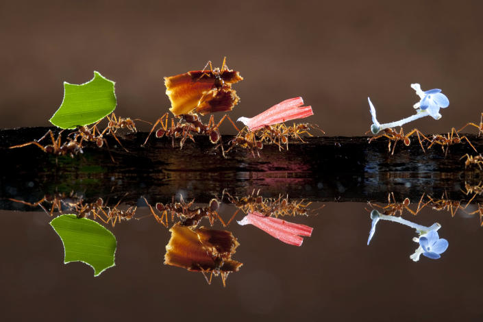 <p>Ants carry leaves, petals and flowers in the Costa Rican rainforest. (Photo: Bence Mate/Caters News) </p>