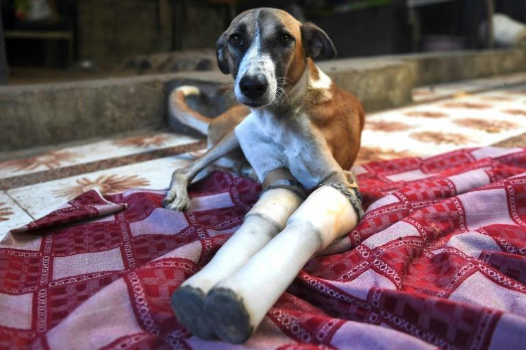 """Rocky lost her front legs after being run over by a train in India, but is now headed to a """"forever home"""" in Britain"""