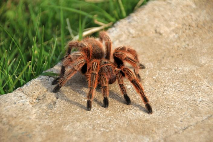 A large brown Rose Hair Tarantula crawling in the garden, Chile, South America