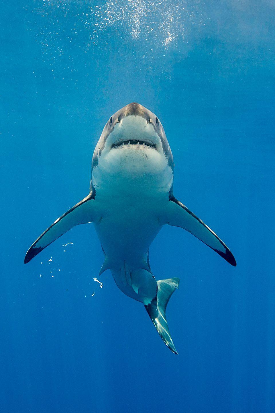 <p>This doesn't necessarily help the stereotype that great white sharks are cold-blooded killers. But they do have an insane ability to detect blood. They're able to sense blood from 3 miles away, and can also identify a small drop in a 25 gallon bucket.</p>