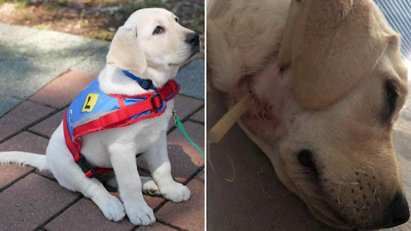Assistance puppy in training Rosebud is recovering from surgery after being attacked by another dog.