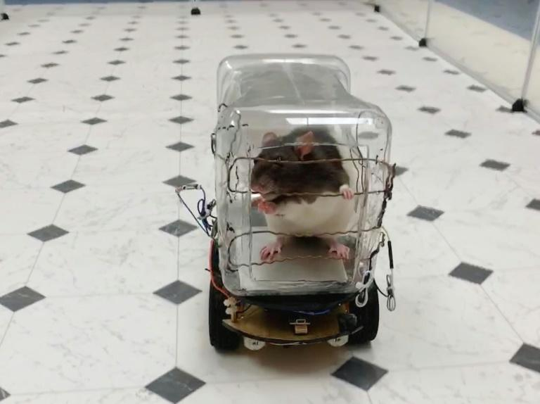 Scientists have reported successfuly training rodents to drive tiny cars in exchange for tasty bits of Froot Loops cereal, and found that learning the task lowered their stress levels (AFP Photo/HO)