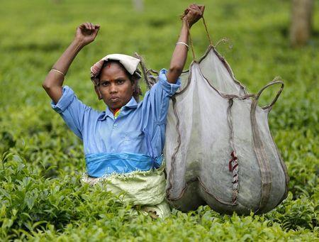 A tea garden worker lifts a bag with plucked tea leaves inside Aideobarie Tea Estate in Jorhat in Assam, India, April 21, 2015. REUTERS/Ahmad Masood