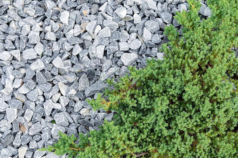 "<p>This type of evergreen comes in an array of shapes and sizes. It's tough-as-nails once established, tolerating poor soil and drought conditions. The horizontally-spreading branches of creeping junipers make a dense mat that weeds can't penetrate. It prefers full sun.</p><p><a class=""link rapid-noclick-resp"" href=""https://go.redirectingat.com?id=74968X1596630&url=https%3A%2F%2Fwww.homedepot.com%2Fp%2FOnline-Orchards-1-Gal-Broadmoor-Juniper-Shrub-Excellent-Evergreen-Ground-Cover-with-Graceful-Spreading-Foliage-Drought-Tolerant-CFJP004%2F310337893&sref=https%3A%2F%2Fwww.goodhousekeeping.com%2Fhome%2Fgardening%2Fg32440508%2Fbest-ground-cover-plants%2F"" rel=""nofollow noopener"" target=""_blank"" data-ylk=""slk:SHOP NOW"">SHOP NOW</a> </p>"
