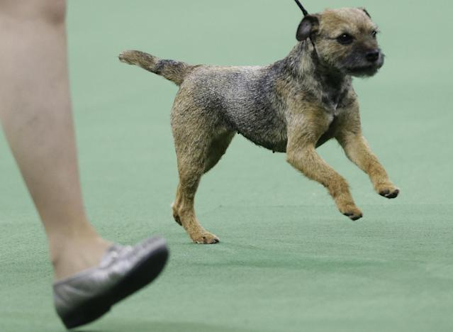 A border terrier competes in the terrier group during the Westminster Kennel Club dog show, Tuesday, Feb. 11, 2014, in New York. (AP Photo/Frank Franklin II)