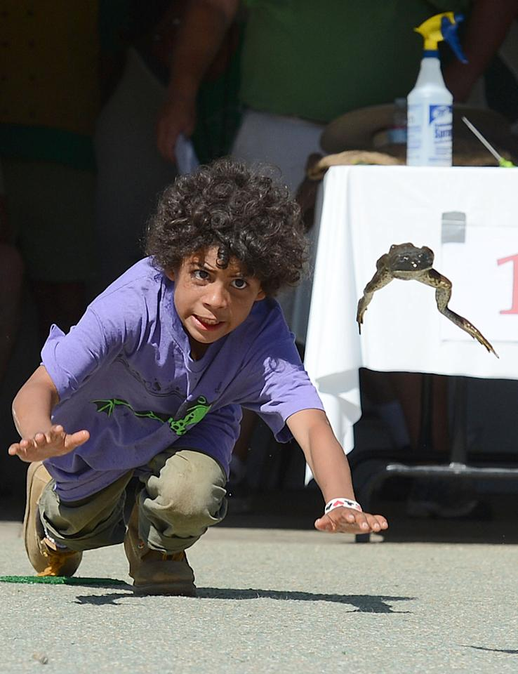 """Daz Belt and his frog """"Over the Edge"""" compete at the Jumping Frog Jubilee Sunday, May 20, 2012 in Calaveras County, Calif. (AP Photo/Chris Weeks)"""