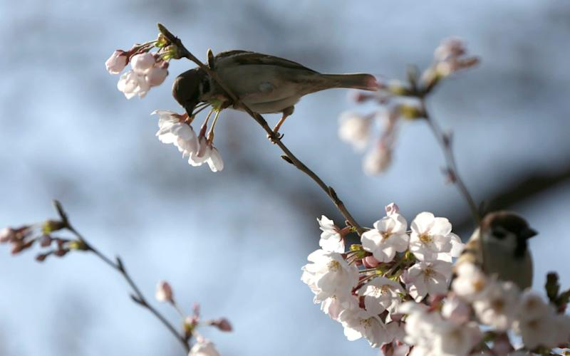 A bird pecks at one of blooming cherry blossoms at a park in Tokyo. - AP