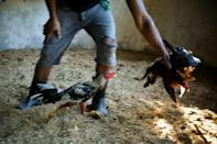 In training -- cock fighting is a traditional sport in many parts of the world