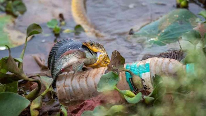 Poisoned Waters: A checkered keelback catches a meal in a filthy waterbody in Dharwad, Karnataka. That unmissable plastic bottle is just the tip of the iceberg. According to Niti Aayog, the government's policy think tank, 70% of India's water is contaminated, with 600 million people facing high to extreme water stress.
