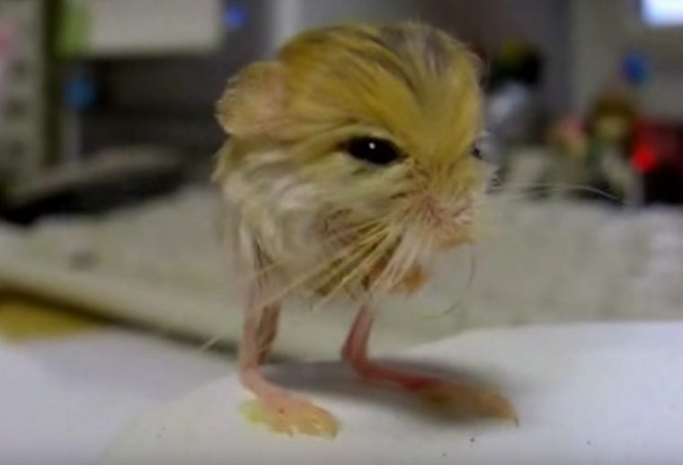 The Baluchistan Pygmy Jerboa Is Half-Mouse, Half-Kangaroo and All Awesome