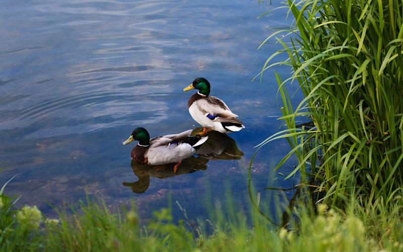 A pair of ducks in the shallows at Priory Country Park, Bedford - www.alamy.com