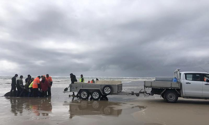 Rescues slide mats underneath the whales so they can be hoisted onto a trailer and driven to a release point from where they can swim back out to the ocean.