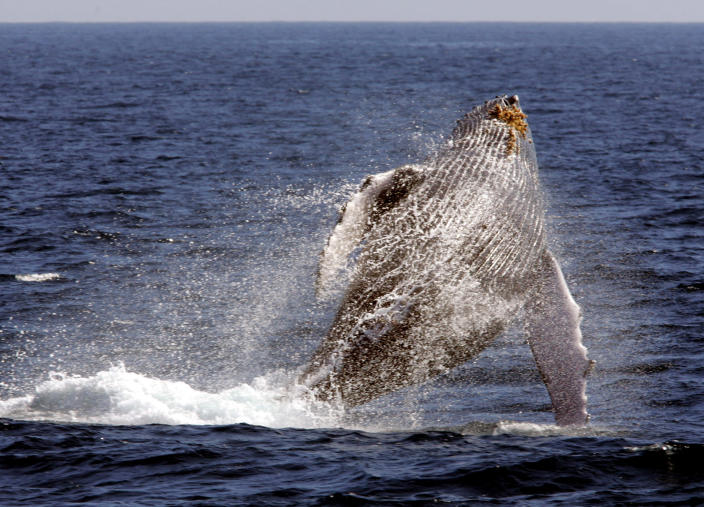 """File - In this Jan. 23, 2005 file photo, a whale leaps out of the water in what is called """"breaching,"""" as seen from a whale watching boat operated by the Pacific Whale Foundation in the channel off the town of Lahaina on the island of Maui in Hawaii. Over the past several years researchers have noticed a decline in the number of North Pacific humpback whales showing up in their traditional breeding grounds around Hawaii. While scientists say it's too early to draw any conclusions about the baffling phenomena, the decline has sparked enough concern that a consortium of whale experts will meet this week in Honolulu to compare data and hopefully get a better sense of what's happening. (AP Photo/Reed Saxon, File)"""
