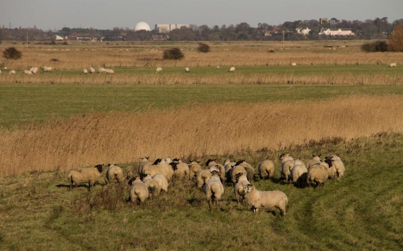 Suffolk Black faced sheep grazing the sea wall at Sudbourne Marsh, looking towards Sizewell Nuclear Power Station - Corbis NX
