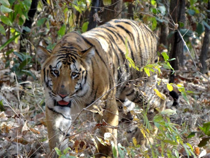 India's tiger population has dwindled over the last two centuries due to poaching and loss of habitat: AFP/Getty