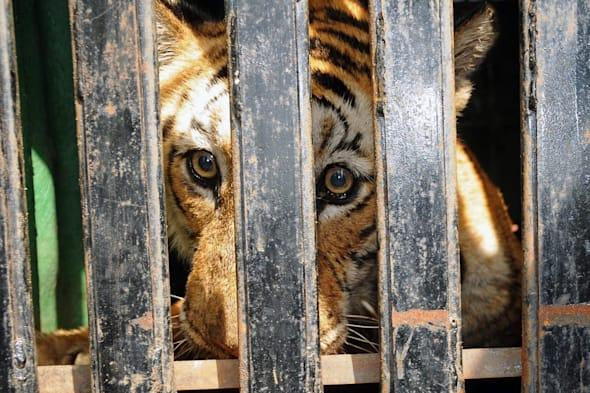 Abused tigers rescued from Germany rescued by UK wildlife park