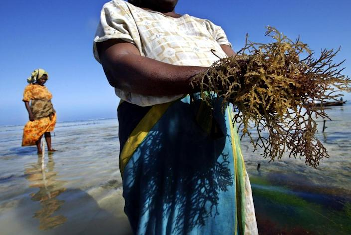 Seaweed from Zanzibar is used as an ingredient base for cosmetics, lotions and toothpaste, as well as in medicines (AFP Photo/Marco Longari)