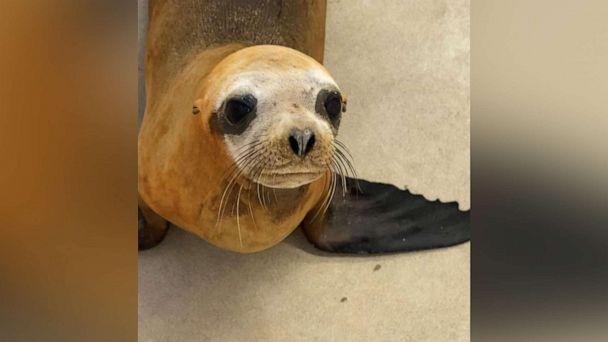 PHOTO: A one-year-old California sea lion nicknamed Mandalorian was rescued at Newport Beach, Calif., on Dec. 16, 2019 by the Pacific Marine Mammal Center. (Pacific Marine Mammal Center)