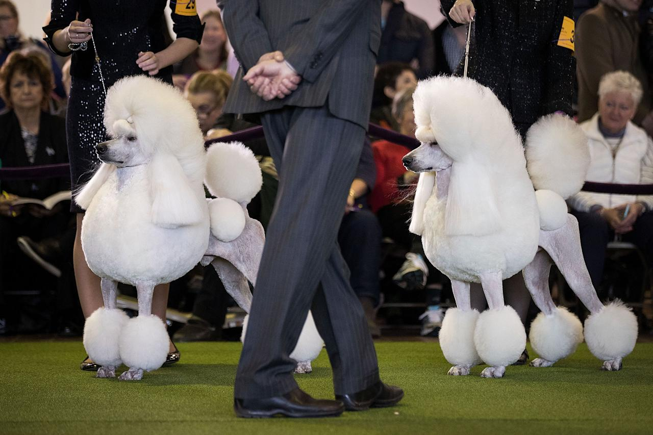 <p>Standard Poodles are judged during competition at the 141st Westminster Kennel Club Dog Show, February 13, 2017 in New York City. There are 2874 dogs entered in this show with a total entry of 2908 in 200 different breeds or varieties, including 23 obedience entries. (Drew Angerer/Getty Images) </p>