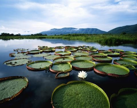 Giant lilies in Brazil's Pantanal - Credit: GETTY
