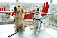 <p>Quala and Trudy from the Medway Guide Dogs for the Blind visit The Coca-Cola London Eye for the fourth year running as part of their new puppies training scheme. The group of 11 puppies, aged between 6-12 months, will be learning how not to get spooked when visiting public attractions. (Jeff Spicer/PA Wire) </p>