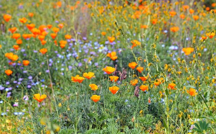 """<span class=""""caption"""">An insect-friendly wildflower swath at California State University, Fullerton's arboretum.</span> <span class=""""attribution""""><a class=""""link rapid-noclick-resp"""" href=""""https://flic.kr/p/25C1wyq"""" rel=""""nofollow noopener"""" target=""""_blank"""" data-ylk=""""slk:TDLucas5000/Flickr"""">TDLucas5000/Flickr</a>, <a class=""""link rapid-noclick-resp"""" href=""""http://creativecommons.org/licenses/by/4.0/"""" rel=""""nofollow noopener"""" target=""""_blank"""" data-ylk=""""slk:CC BY"""">CC BY</a></span>"""
