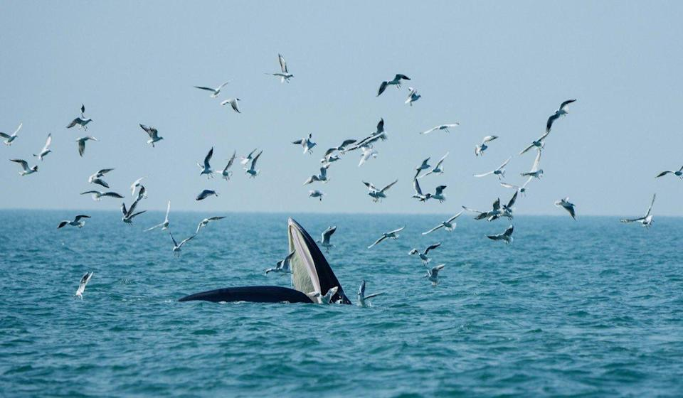 A Bryde's whale forages in waters off Weizhou Island in south China's Guangxi Zhuang autonomous region in January, 2021. Photo: Xinhua
