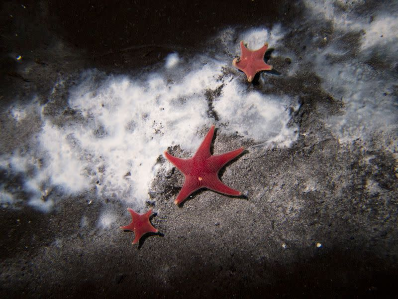 A handout image shows clusters of microbes among starfish in Antarctica