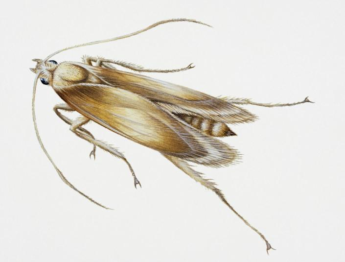An illustration of the webbing clothes moth.
