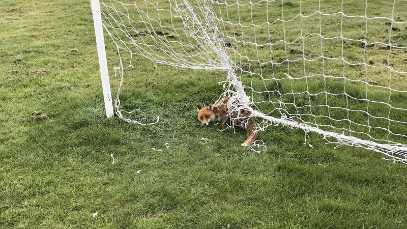 Fox is outfoxed by a football net