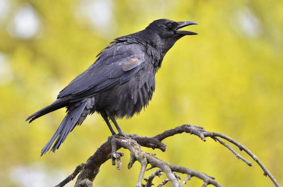 "It's probably best not to get on a crow's bad side. According to one 2008 study by wildlife researchers at the University of Washington—plus tons of anecdotal evidence from wildlife biologists—the highly intelligent birds are <a href=""https://www.washington.edu/news/2012/09/10/crows-react-to-threats-in-human-like-way/"" rel=""nofollow noopener"" target=""_blank"" data-ylk=""slk:capable of remembering individual human faces"" class=""link rapid-noclick-resp"">capable of remembering individual human faces</a>, even if those who have wronged them wear a disguise. So how do crows show their distaste? They scream. ""The birds were <a href=""https://www.nytimes.com/2008/08/26/science/26crow.html"" rel=""nofollow noopener"" target=""_blank"" data-ylk=""slk:really raucous"" class=""link rapid-noclick-resp"">really raucous</a>, screaming persistently,"" one volunteer in the crow study told <em>The New York Times</em>. ""And it was clear they weren't upset about something in general. They were upset with me."" Sounds intense!"
