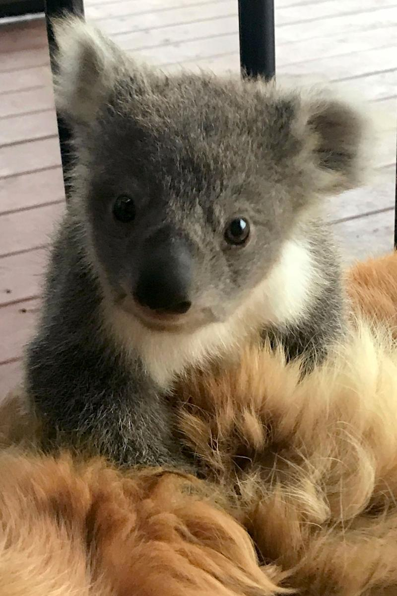 Mum-of-three Kerry McKinnon who lives in Strathdownie, Victoria woke up to find a baby koala nestled in the fur of her Golden Retriever Asha. Source: Caters