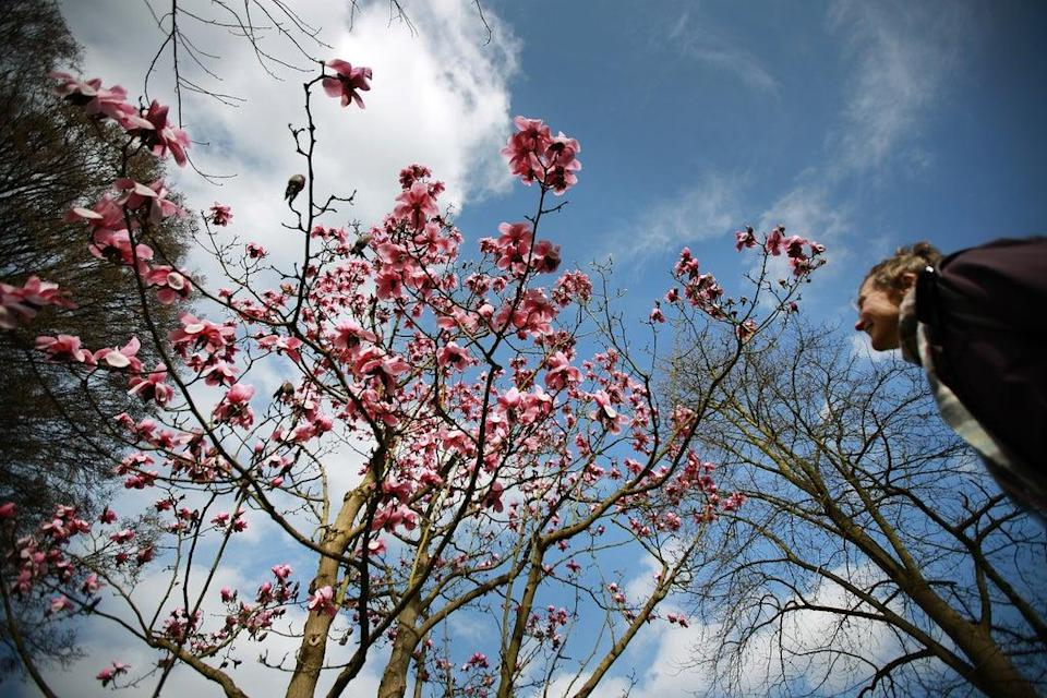 Magnolia trees blossom at the Royal Botanical Gardens in Kew (Getty Images)