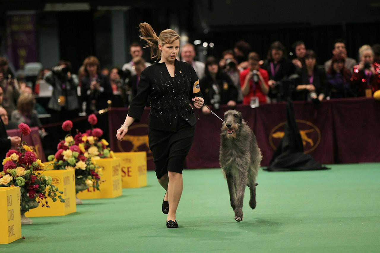 NEW YORK, NY - FEBRUARY 15: A Scottish Deerhound named Foxcliffe Hickory Wind runs with her handler Angela Lloyd before winning Best in Show at the Westminster Kennel Club Dog Show on February 15, 2011 in New York City. The show, one of the most prestigious dog shows in the world, is being held at Madison Square Garden in New York City on February 14-15. Over 2,000 dogs competed in this year's show which also included six new breeds to the competition.  (Photo by Spencer Platt/Getty Images)