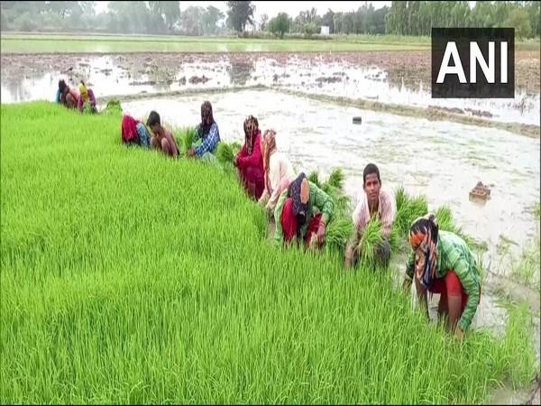 Farmers in Aligarh sowing paddy in their fields. (Photo/ANI)