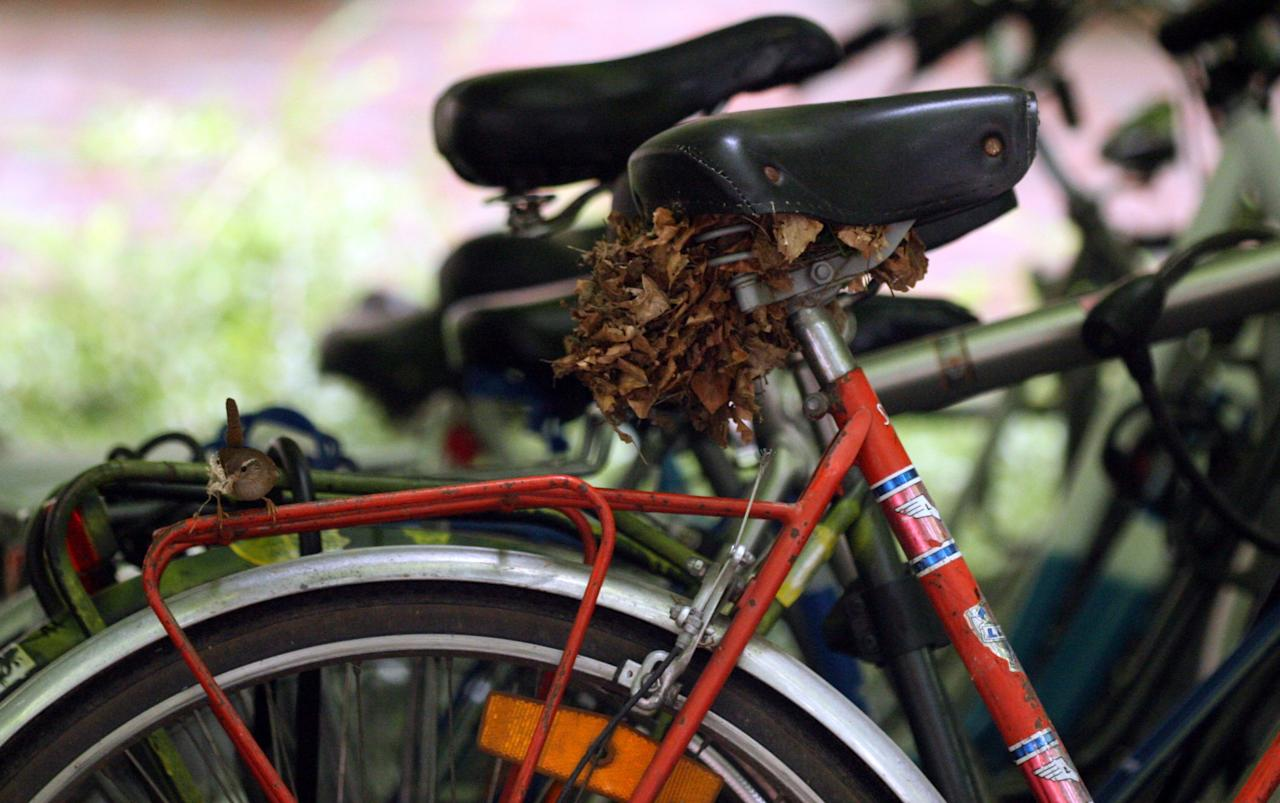 <p>A Eurasian wrens usually build their nests in bushes or tree trunks, but one has made do with what he could find and built a nest beneath the seat of a parked bike on a college campus. (Raf Aerts/SWNS) </p>