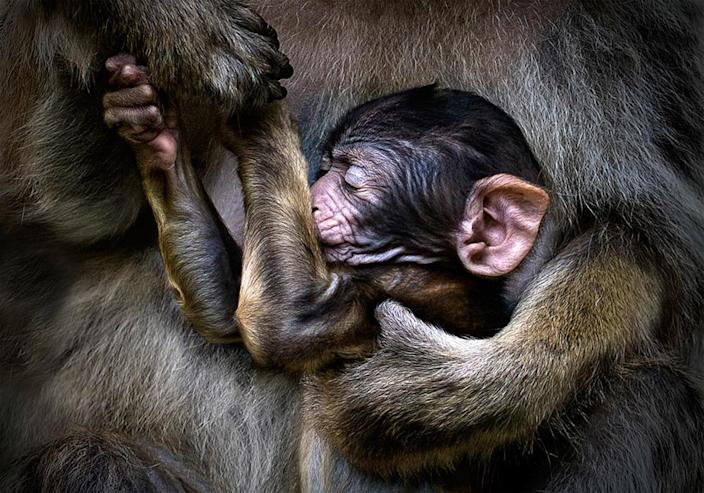 A baby ape in its mothers arms. (Photo: Pedro Jarque Krebs/Caters News)