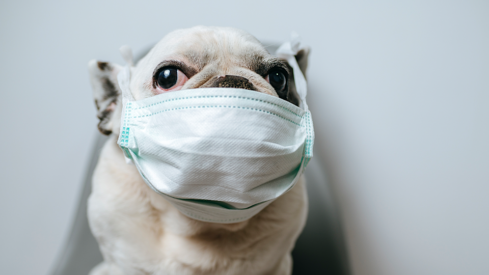 A dog wears a surgical mask against a white background.